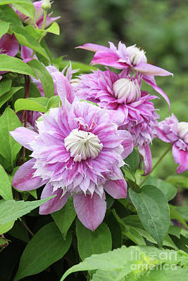 Photograph - Clematis Josephine #6 by Judy Whitton