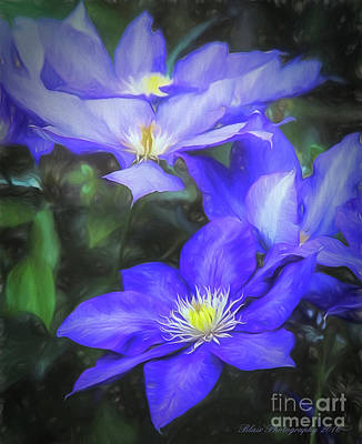 Photograph - Clematis by Linda Blair