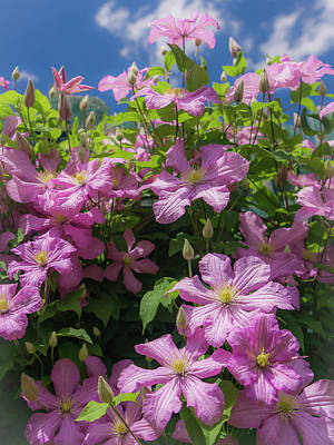 Photograph - Clematis by Mark Mille