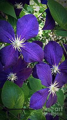Photograph - Clematis  by Marlene Williams