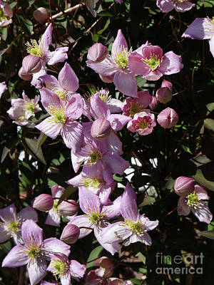 Photograph - Clematis Montana  In Full Bloom by Brenda Kean