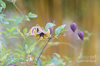 Clematis My Angel  Art Print by Tim Gainey