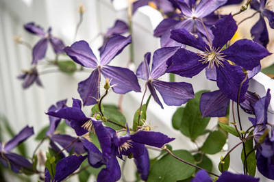 Photograph - Clematis On A Fence by John Harding