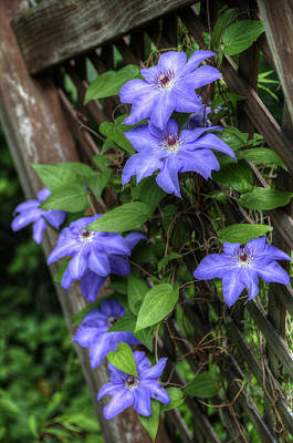 Photograph - Clematis Ramona by Patrick Groleau