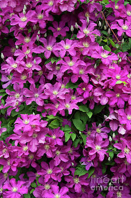 Photograph - Clematis Remembrance Flowers by Tim Gainey