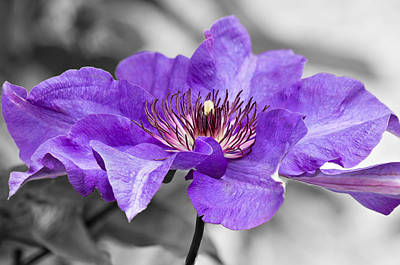Clematis Art Print by Scott Carruthers