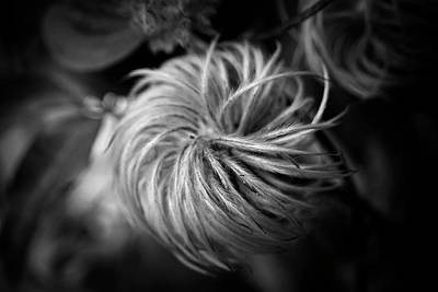Photograph - Clematis Seed Head In Black And White by Chrystal Mimbs