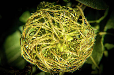 Photograph - Clematis Seed Head In Morning Light by Douglas Barnett