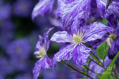 Photograph - Clematis Tie Dye by Tim Gainey
