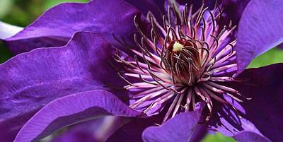 Photograph - Clematis Up Close by Bruce Bley