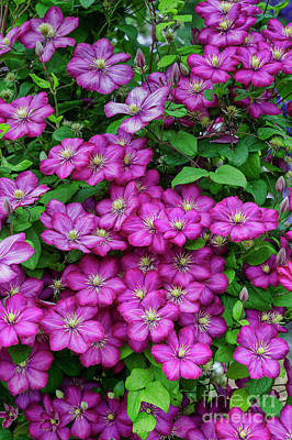 Photograph - Clematis Ville De Lyon by Tim Gainey