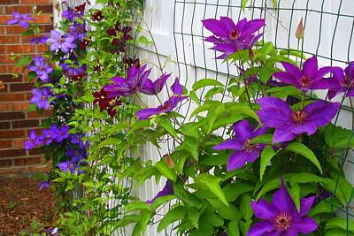 Photograph - Clematis Vines by Kathryn Meyer