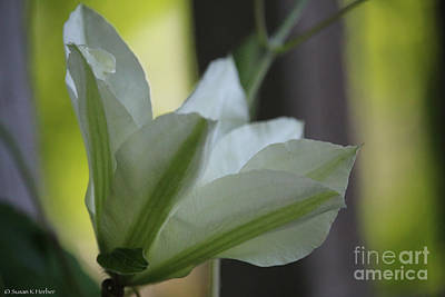 Photograph - Clematis Wings by Susan Herber