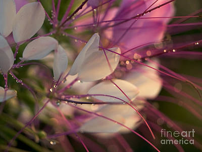 Prickly Rose Photograph - Cleome Flower In The Morning by Rachel Morrison