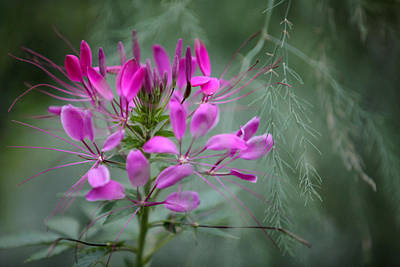 Art Print featuring the photograph Cleome by Jane Melgaard