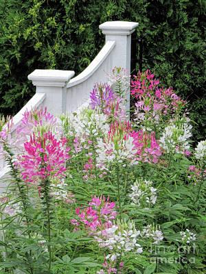 Cleomes Garden Art Print