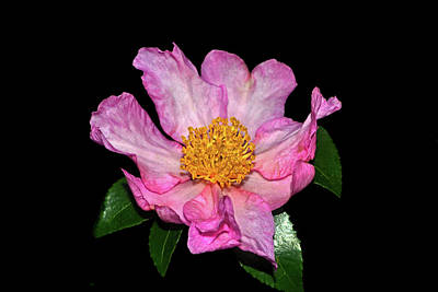 Photograph - Cleopatra Camellia 001 by George Bostian