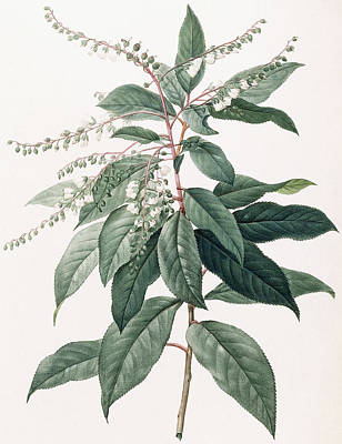 Flora Drawing - Clethra Arborea by Pierre Joseph Redoute