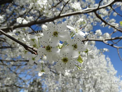 Photograph - Cleveland Pear Blooms In Spring by Rebecca Overton