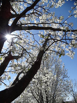 Photograph - Cleveland Pear Tree Blooming Spring by Rebecca Overton