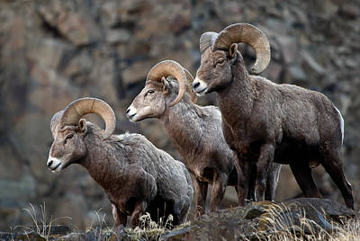 Photograph - Cliff Side Rams by Athena Mckinzie