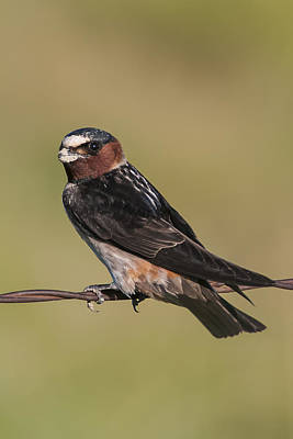 Print featuring the photograph Cliff Swallow by Gary Lengyel
