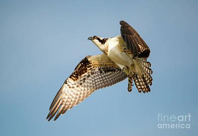 Osprey Photograph - Climb by Mike Dawson
