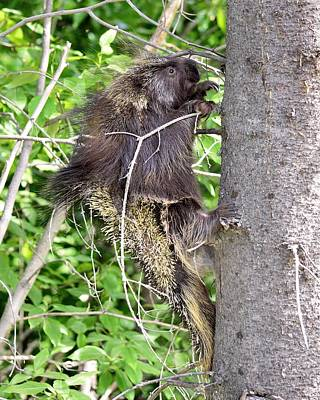 Photograph - Climbing Higher - Porcupine by KJ Swan