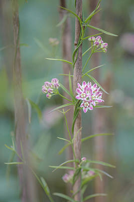 Photograph - Climbing Milkweed On Old Reed by Alexander Kunz