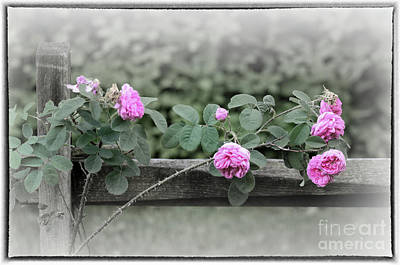 Photograph - Climbing Pink Roses With Border by Karen Adams
