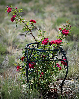 Photograph - Climbing Rose by John Brink