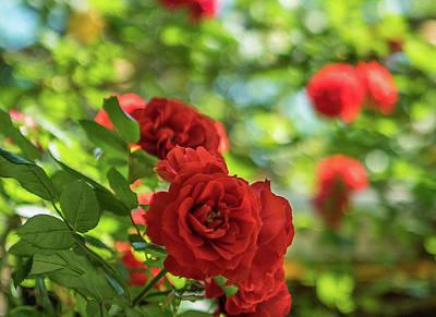 Photograph - Climbing Roses by Jocelyn Kahawai