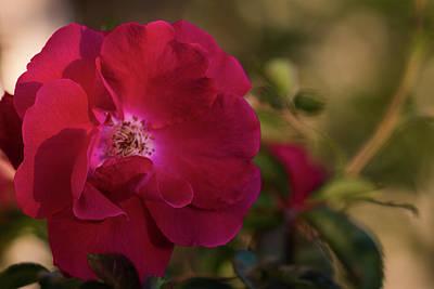 Photograph - Climbing Roses by Robert Potts