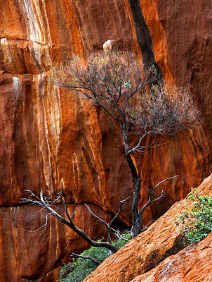 Gum Tree Photograph - Clinging To Life by Mike  Dawson