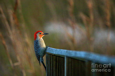 Photograph - Clinging Woodpecker #1 by Tom Claud