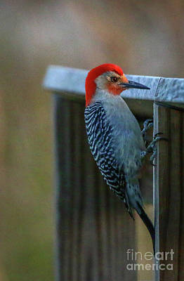 Photograph - Clinging Woodpecker #2 by Tom Claud