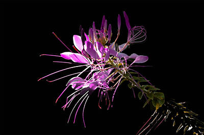 Cleome Photograph - Cliome Sweet Cliome by Ross Powell