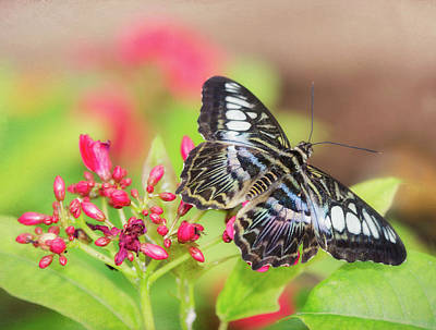 Photograph - Clipper Butterfly Atop Pink Flowers  by Saija Lehtonen