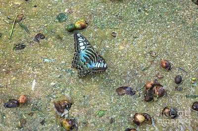 Photograph - Clipper Butterfly by Michelle Meenawong