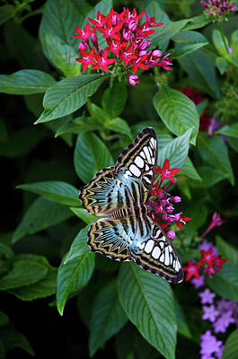 Photograph - Clipper Butterfly On Star Flower by Marie Hicks