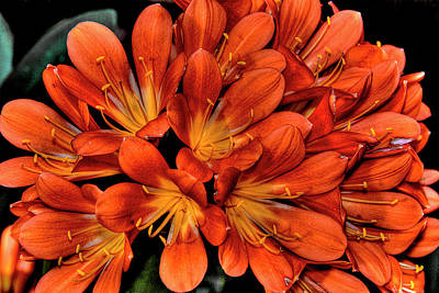 Clivia Flowers Photograph - Clivia by David Patterson