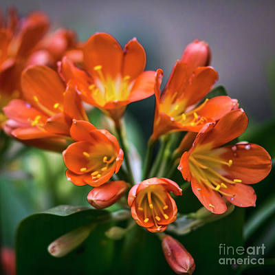 Photograph - Clivia Flower Genoves Park Cadiz Spain by Pablo Avanzini