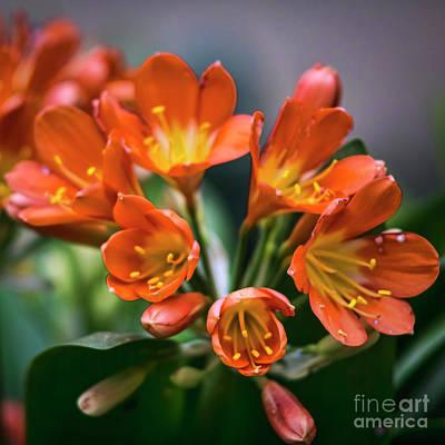 Photograph - Clivia Flower Genoves Park Cadiz Spain by Pablo Avanzini