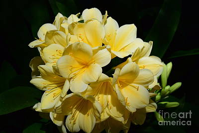 Photograph - Clivia In Yellow by Jeannie Rhode