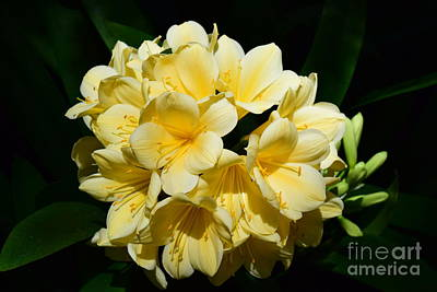 Photograph - Clivia by Jeannie Rhode