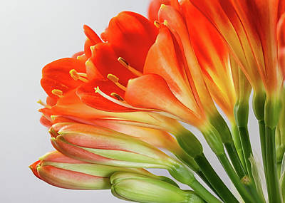 Photograph - Clivia Miniata 2 by Shirley Mitchell