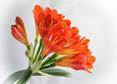 Photograph - Clivia Miniata 3 by Shirley Mitchell