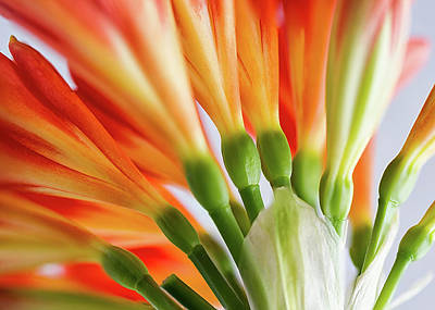 Photograph - Clivia Miniata 5 by Shirley Mitchell