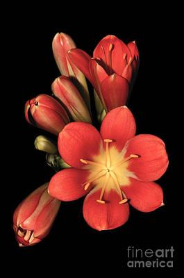 Clivia Flowers Photograph - Clivia On Black by Emilio Lovisa