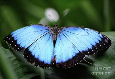 Photograph - Close To Blue Morpho Butterfly by Karen Adams